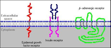 How Does Insulin Alter Activity In Target Cells