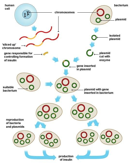 How Genetic Engineering Is Used To Produce Insulin?