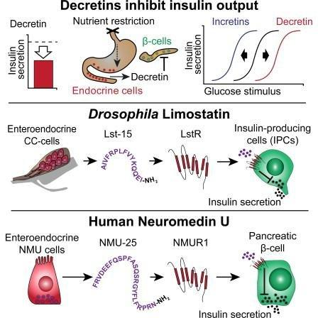 Article Suppression Of Insulin Production And Secretion By A Decretin Hormone