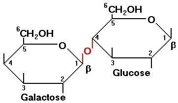 What Do Glucose And Galactose Make?