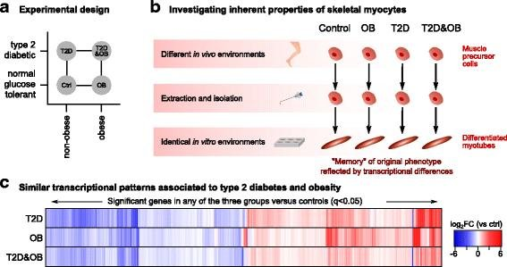 Type 2 diabetes and obesity induce similar transcriptional reprogramming in human myocytes
