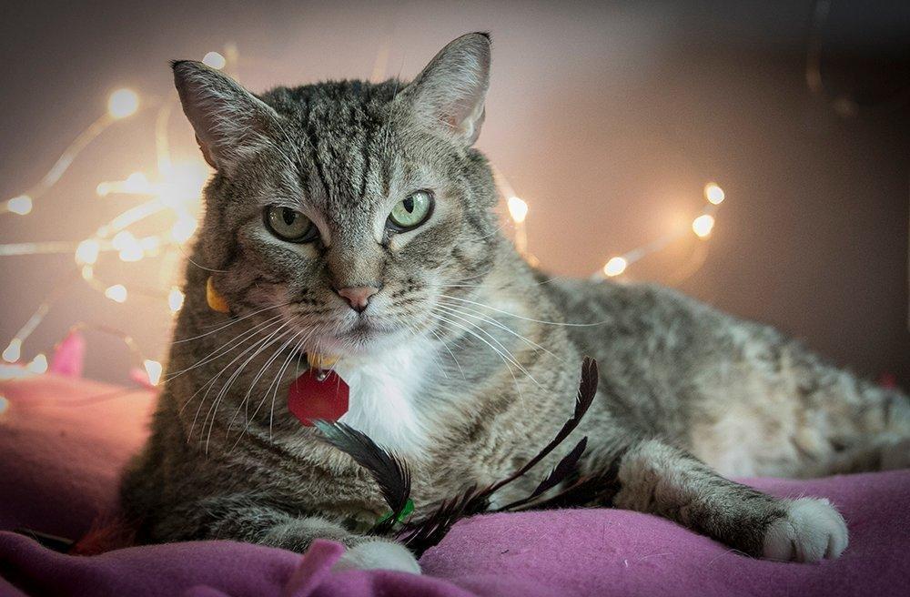 Feline Diabetes | San Diego Humane Society