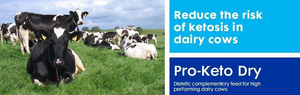 Ketosis In Dairy Cows
