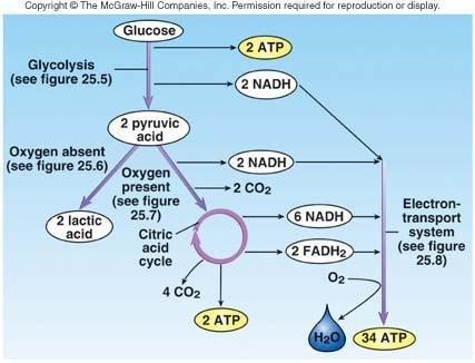 A Process By Which Excess Glucose Is Linked Together And Stored As Glycogen In Muscle And Liver