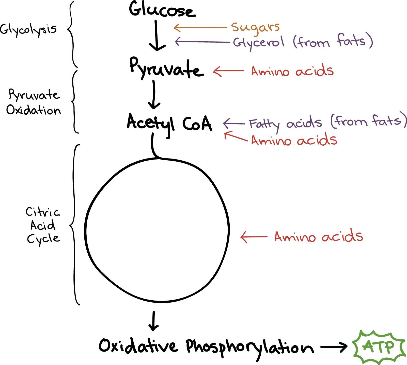 Glucose Can Be Used To Make Fatty Acids True Or False