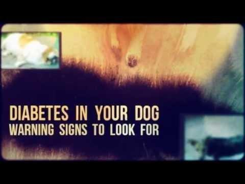 What Is Diabetes Insipidus In Dogs