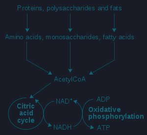 Fat To Glucose Pathway