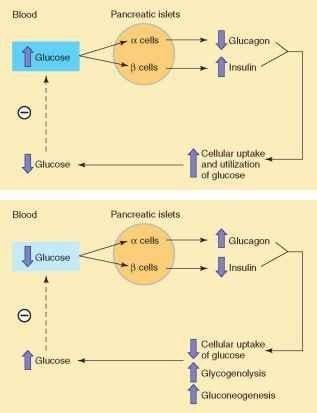 Regulation Of Insulin And Glucagon Secretion
