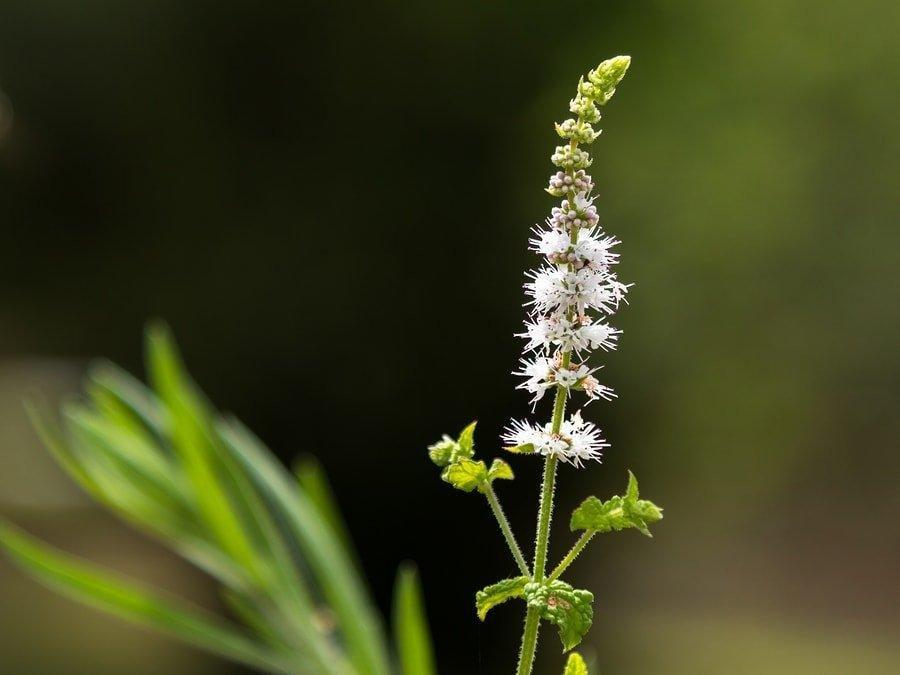 9 Health Benefits Of Black Cohosh- With Side Effects