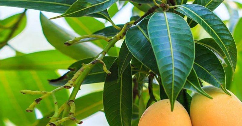 3 Amazing Benefits Of Mango Leaves For Diabetics
