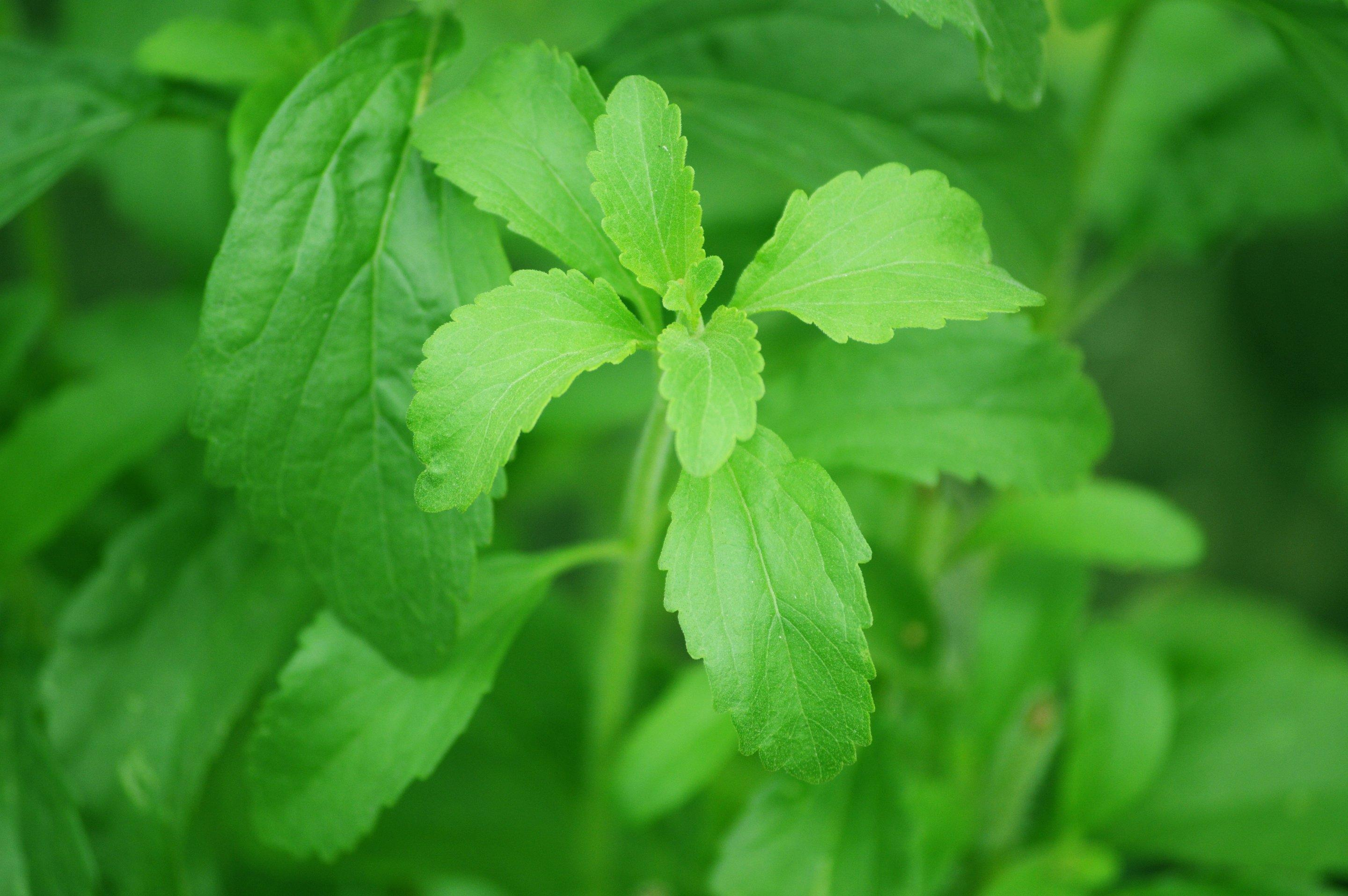 Sequencing Of Stevia Plant Genome Revealed For First Time