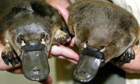 Platypus venom paves way to possible diabetes treatment