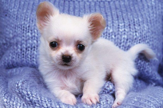 How To Treat Hypoglycemia In Chihuahuas