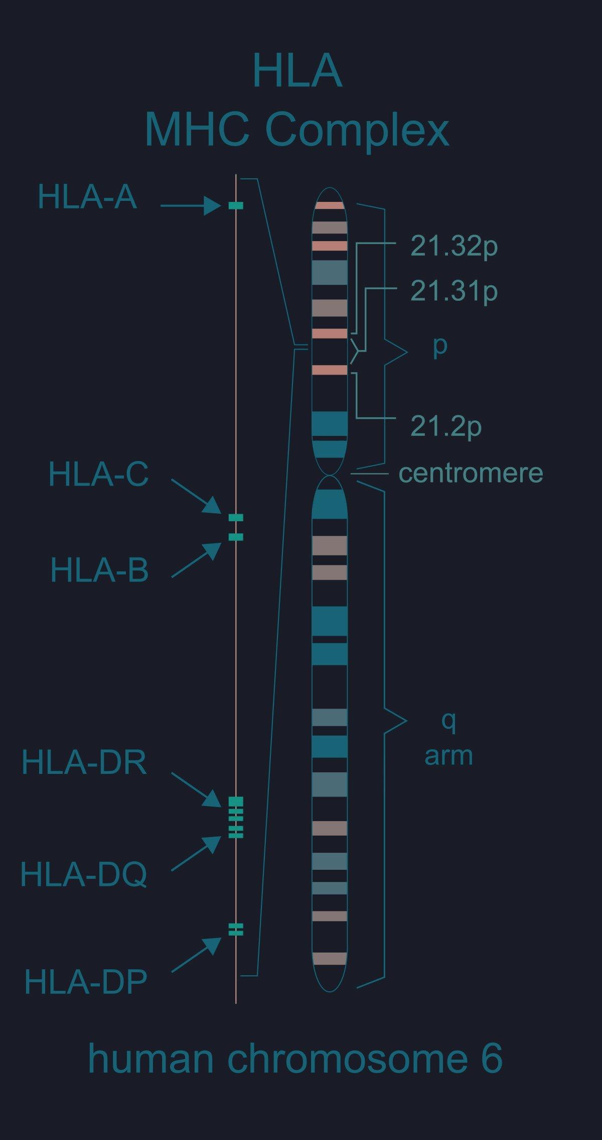Human Leukocyte Antigen