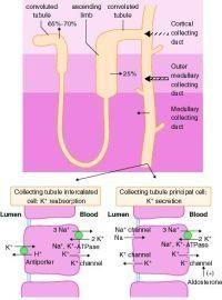 Insulin And Hypokalemia Relationship