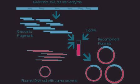Production Of Insulin By Recombinant Dna Technology