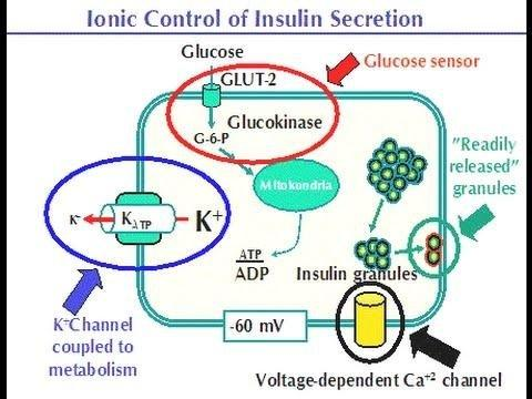 What Regulates Insulin Secretion?
