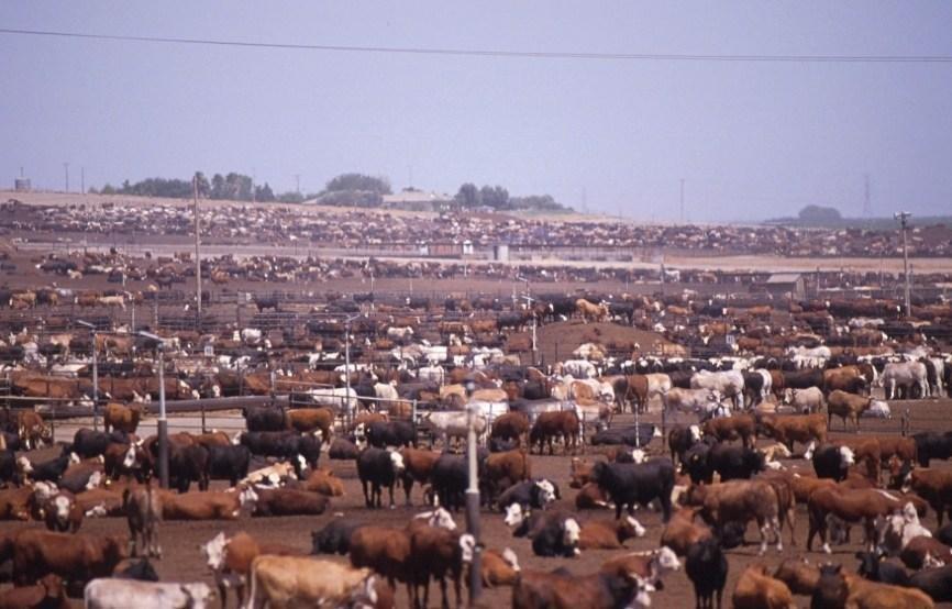 Diabetes In Cows