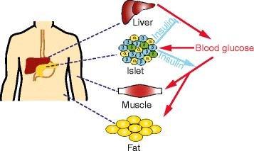 Q&a: Insulin Secretion And Type 2 Diabetes: Why Do Β-cells Fail?