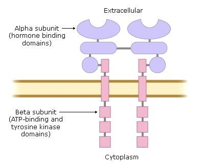 What Is The Mechanism Of Action Of Insulin?