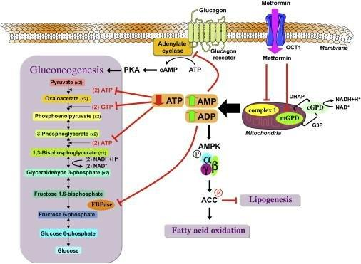 Metformin: From Mechanisms Of Action To Therapies
