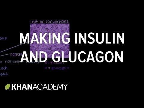 Where Are Insulin And Glucagon Produced
