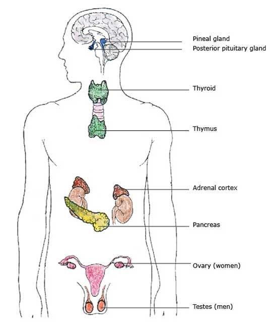 Endocrine System Glands And Hormones