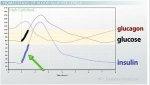 Homeostasis Of Glucose Levels: Hormonal Control And Diabetes