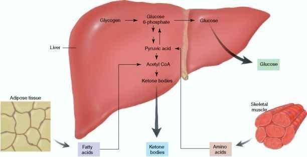 Insulin And Glucagon Postabsorptive State