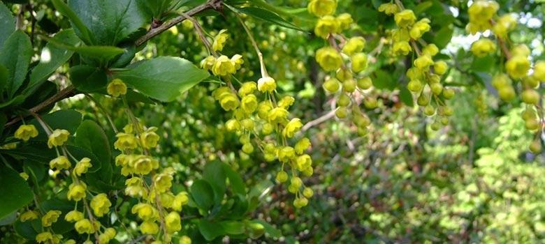 Positive Pcos The Benefits Of Taking Berberine