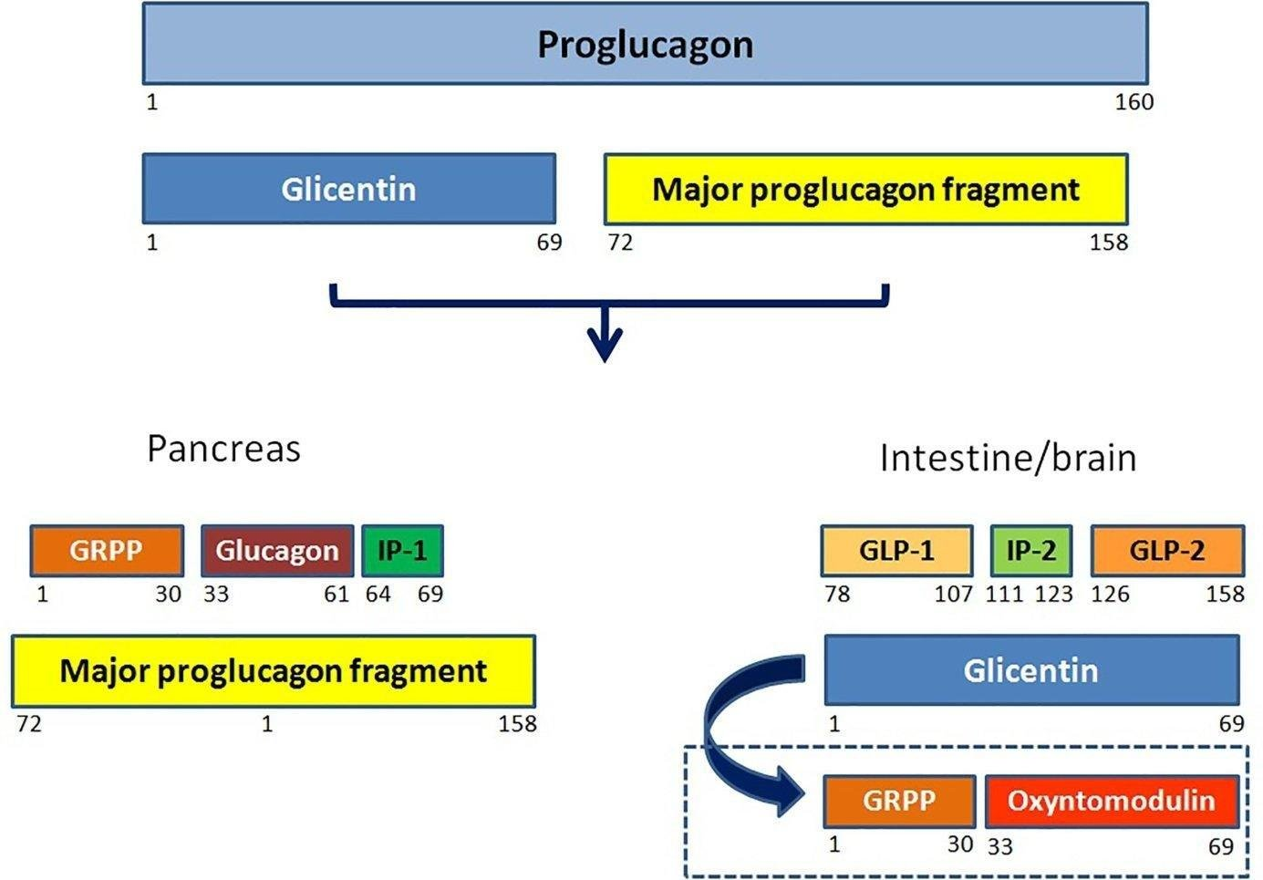 Incretin System In The Pathogenesis Of Type 2 Diabetes And The Role Of Incretin Based Therapies In The Management Of Type 2 Diabetes