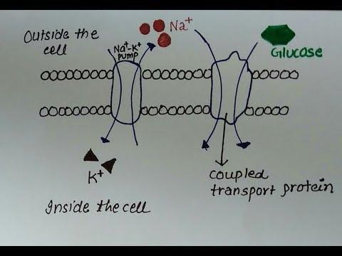 What Is Active Transport And How Is It Used In The Absorption Of Glucose?