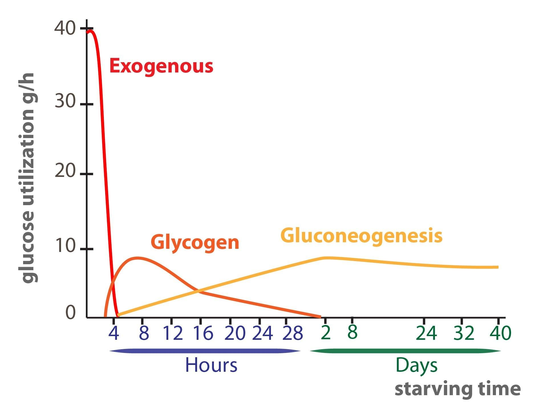 Introduction To The Degradation And The Synthesis Of Glucose