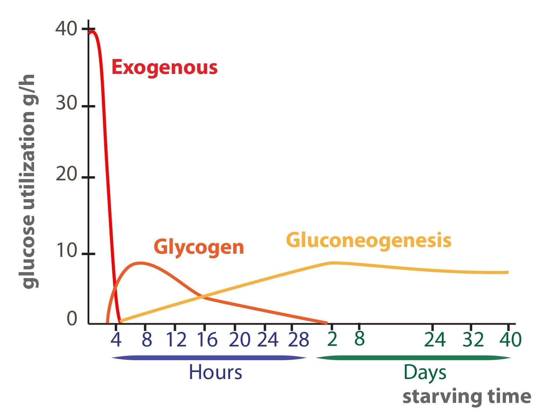 Why Is Glucose So Important To The Human Body?