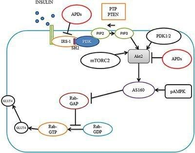 Frontiers | Molecular Mechanisms Of Antipsychotic Drug-induced Diabetes | Neuroscience