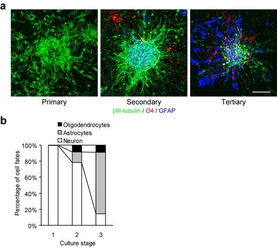 Generation Of Neurospheres From Embryonic Stem Cells For Investigating The Temporal Specification Of Neural Stem/progenitor Cells
