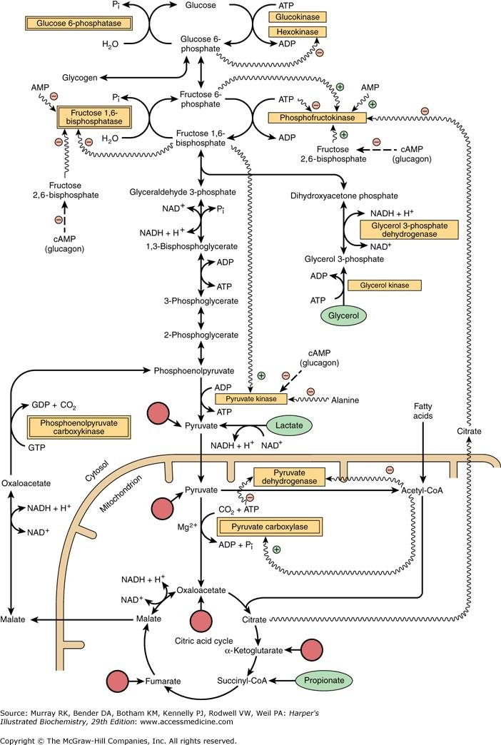 Chapter 20. Gluconeogenesis & The Control Of Blood Glucose