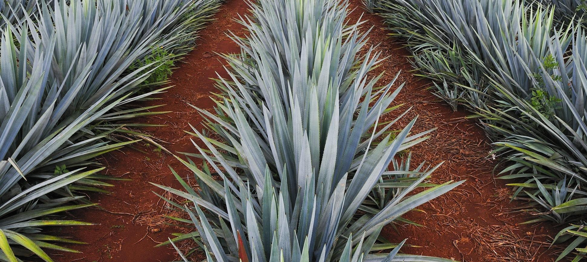 Can Diabetics Eat Agave