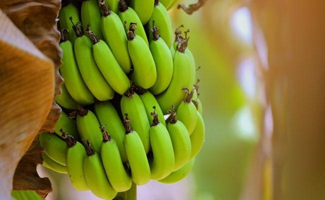 Raw Bananas For Diabetes: Health Benefits Of Raw Bananas You Must Know; Diabetes Diet