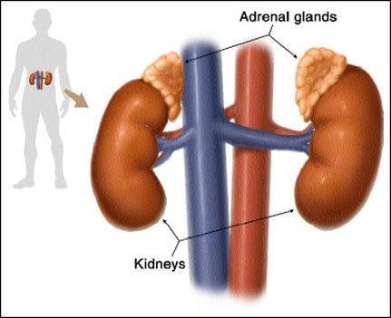 Glands Responsible For Maintaining Blood Sugar