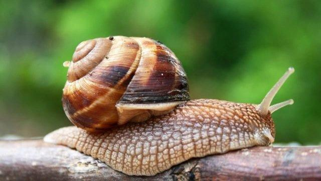 Snails Provide Fast-acting Therapeutic Insulin