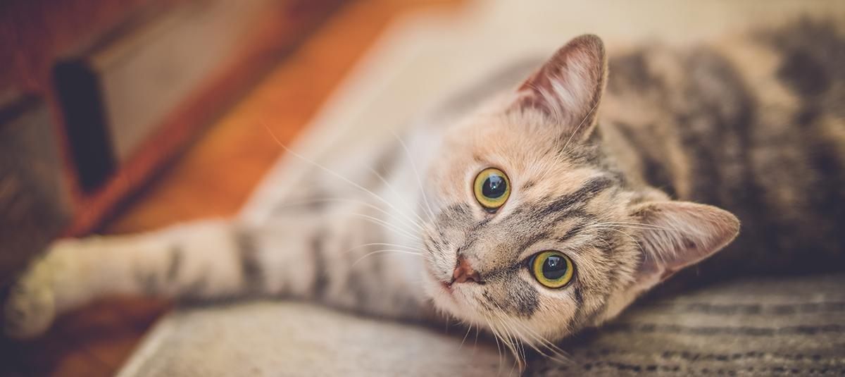 Feline Diabetes: Signs And Treatment
