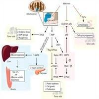 Metformin And Cardiovascular Protection
