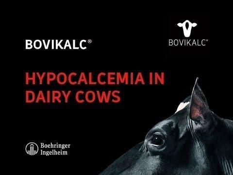 What Is Ketosis In Dairy Cattle