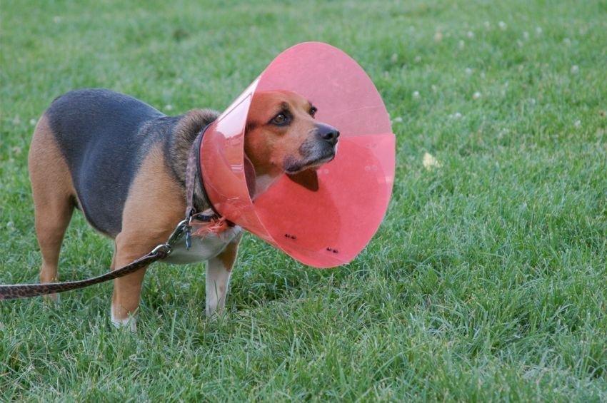 Diagnosing Diabetes Insipidus In Dogs
