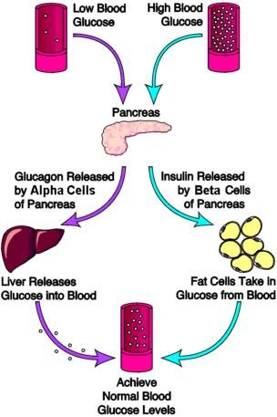 How Is Glucagon An Antagonist Of Insulin?