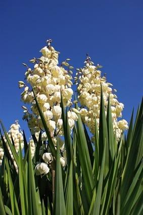 How Healthy Is Yucca?