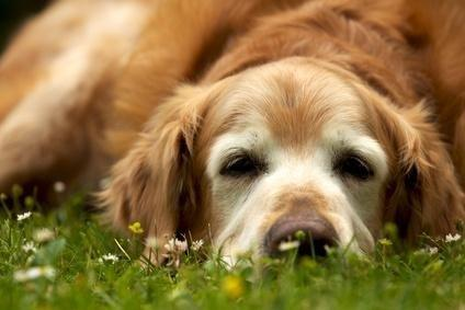 Diabetes Mellitus In Dogs