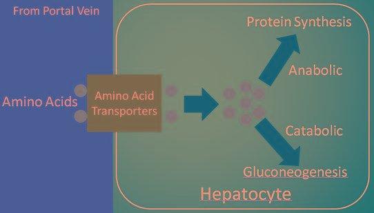 Gluconeogenesis - Kansas State Hn 400 Human Nutrition