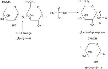 Storage Of Glucose As Glycogen